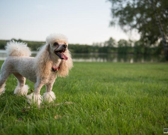 pes u rybníku | Štilec